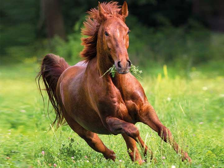 Pferd gallopiert über Wiese