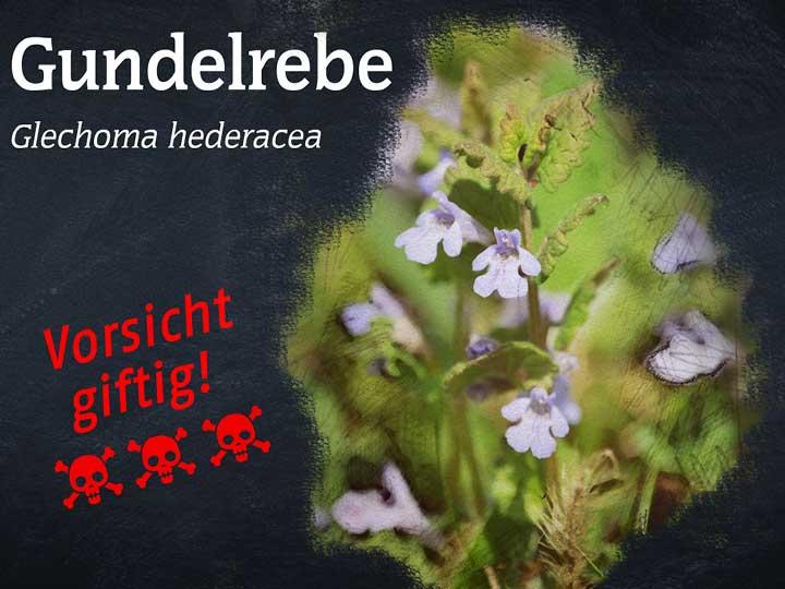Gundelrebe