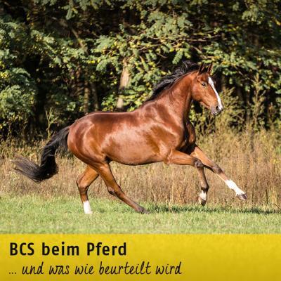 BCS beim Pferd